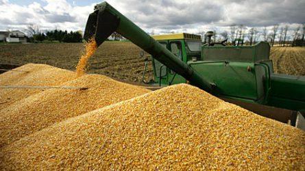 Esett a kukorica termelői ára - Friss olajosnövény és gabonapiaci jelentés