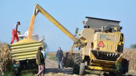 A Vajdaságban betakarították a termésversenyre benevezett kukoricát