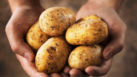 Felére zuhant vissza a pityóka termőterülete Hargita megyében