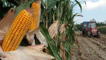 Zalában befejeződik a napraforgó, Csongrádban késik a kukorica betakarítása