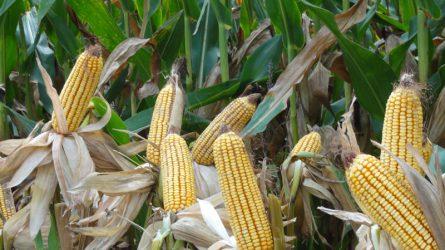 Majdnem 32 tonnás termésátlag a Dekalb kukorica hibridjével Amerikában