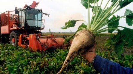 Jelentős támogatásokat kaptak a cukorrépa-termelők 2014-ben