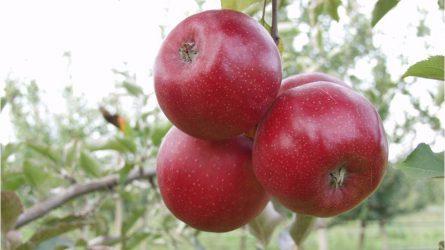 Középpontban az almavarasodás - Alma Konferenciát rendezett a DuPont