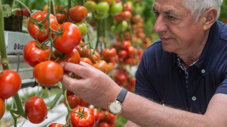 Syngenta: folyamatosan nő a paradicsom termésmennyisége