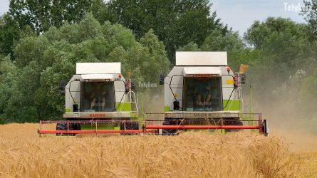 Hattonnás a búzatermés az aratás elején Tolnában