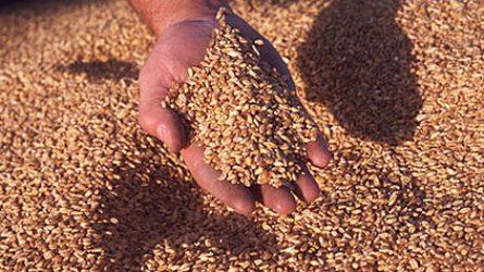 A frissaratású gabonát ellenőrzi a NÉBIH