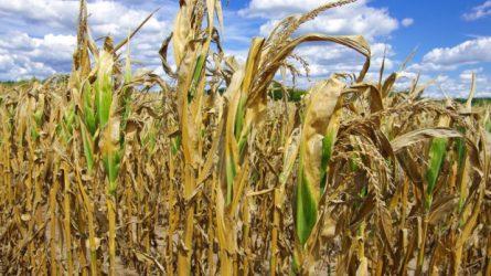 Vihar - Akár 80-100 milliárd forintot is lehet a kukoricatermesztők kára