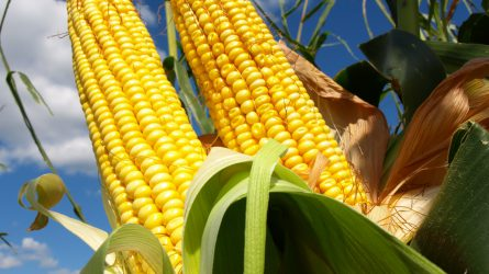 Hatmillió tonna kukoricatermés várható