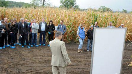 Kukoricák Martonvásáron (+KÉPEK)