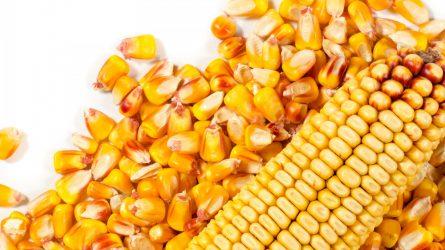 Precíziós nitrogénkijuttatás az amerikai kukoricaövezetben
