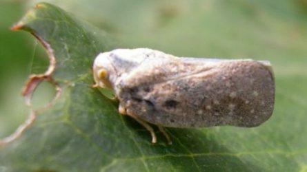Amerikai lepkekabóca - Invazív gyümölcskártevő rovarok II.