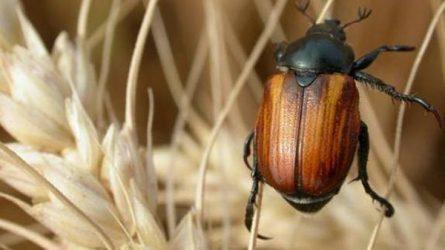 A kalászosok legfontosabb rovarkártevői