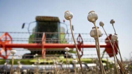 Az alkaloidtartalmú mák termesztési és növénykórtani kérdései