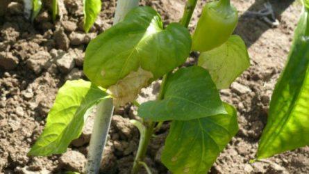 Növényvédelmi előrejelzés: Itt a nyár, enyhül a nyomás!
