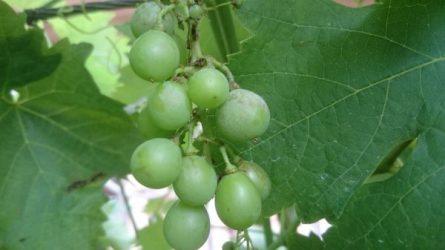 Növényvédelmi előrejelzés: Péter, Pál – aratás
