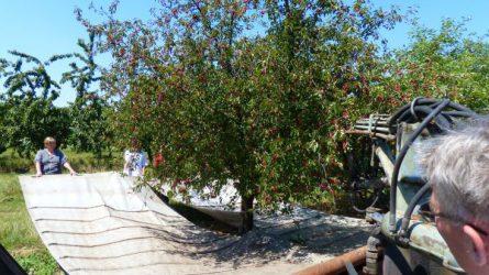 Cseresznye és meggy fajtabemutató az Elvira-majorban – van-e ok optimizmusra?