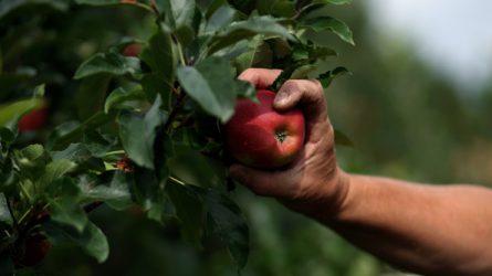 Óvják a magyar gyümölcsfafajtákat