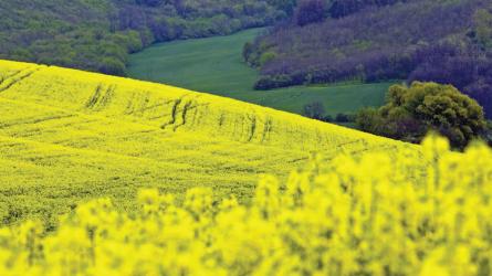 Március második félében a Solvitis jó megoldás lehet a foszforhiányos repcében