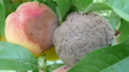 Növényvédelmi előrejelzés: Nyárutó – szezonvégi feladatokkal