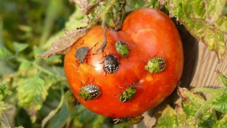Növényvédelmi előrejelzés: Rengeteg a poloska, szokatlanul gyakori a szőlő korai tőkepusztulása