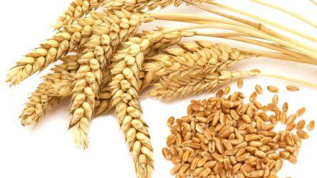 7,9 millió tonna kalászos gabona termett az idén
