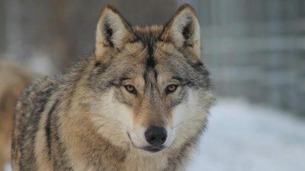 Farkasveszélyre figyelmezteti az állattartókat az Aggteleki Nemzeti Park