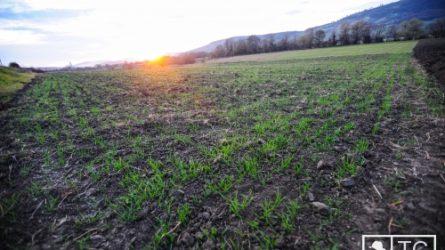 Több magyar gabonafajtát honosítanának meg Székelyföldön