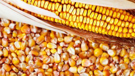 KWS új generációs kukoricahibridek 2019-ben! (Hevesi István, Mindszent)