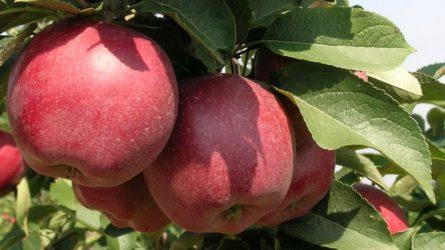 Kedvezőbb lett a szőlő- és gyümölcsfaiskolák földhasználati szabályozása