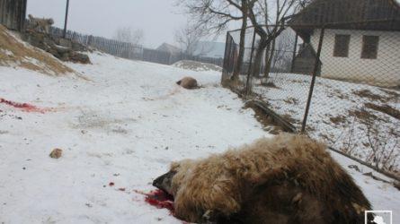 Öt juhot pusztítottak el a farkasok Gyergyószentmiklóson