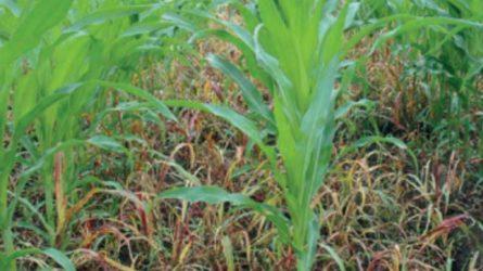 Az egyszikűek herbicidrezisztenciájáról: Sorghum halepense (L.) Pers.