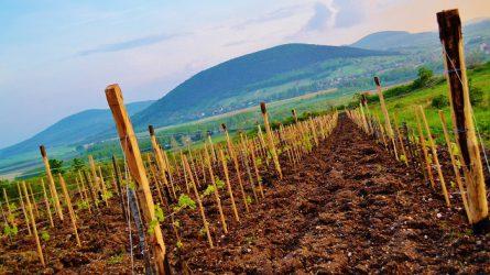 Fokozatosan bővülnek a szőlő termőterületek