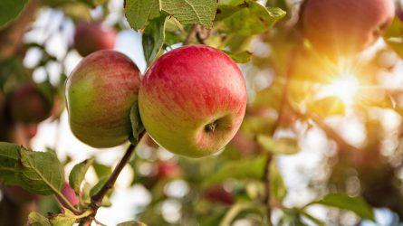 Ventúriás varasodással szemben ellenálló magyar almafajták fajtatársítása