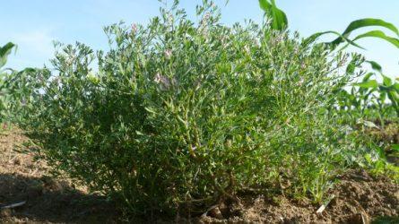 Ki tud többet a kukorica gyomirtásáról: a növényvédős vagy a gyomnövény?