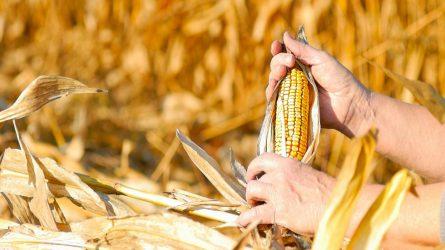 Mi várható idén kukoricafronton? – Indul a szezon (I. rész)