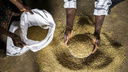 FAO: Nem törődve a készletbőséggel, drágulnak a gabonafélék