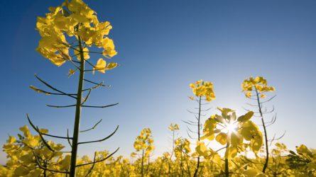RAPOOL: tavaszi repce technológiai javaslatok