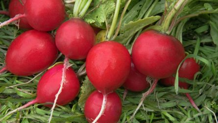 A retek sikeres termesztése nagymértékben a vetésen múlik