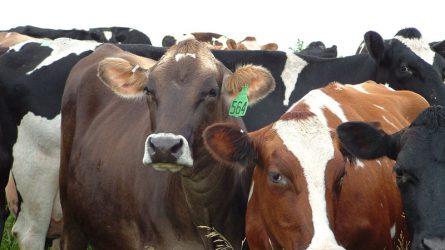 Jobb teljesítményt eredményeznek a baromfi- és húsmarha-támogatások