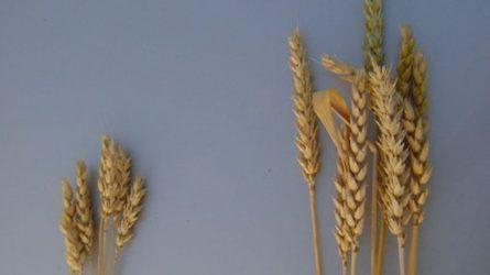 A természet erejével! - Élő algás technológia alkalmazása a növénytermesztésben (3.)