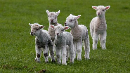 Nem kedveznek a mostani árak a magyar bárányexportnak