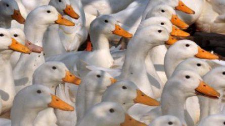 1,7 milliárd forint jövedelempótló támogatás a madárinfluenza által sújtott kacsa- és libatartóknak