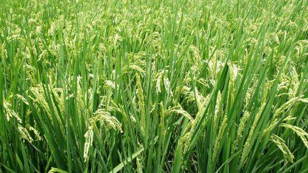 A magyar rizstermesztés környezet- és munkahelyvédelmi szempontból is fontos