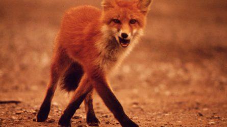 Indul a rókák veszettség elleni immunizálása