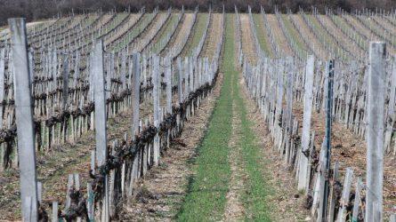 Április 1-jétől változott a szőlőtelepítési támogatás igénylése