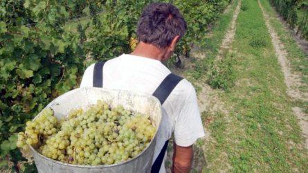 2,5 milliárd forintot kapnak a szőlőtermelők