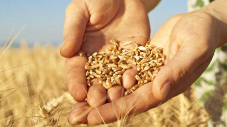 Idén is megtudjuk, melyek a legjobb őszi búza és kukorica fajták