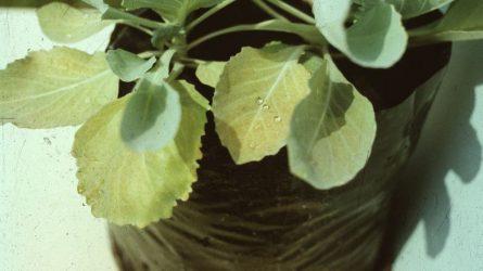 Korai szabadföldi káposztafélék tápanyagellátása