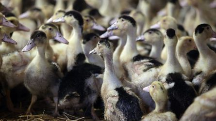 Megkezdődött a madárinfluenza miatt nyújtott jövedelempótló támogatás kifizetése