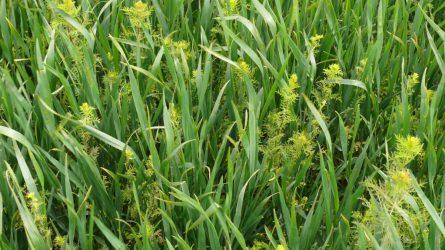 Növényvédelmi előrejelzés: Május van, jönnek a májusi esők!